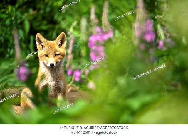 Red Fox (Vulpes vulpes) cub, NcNeil, Alaska, USA