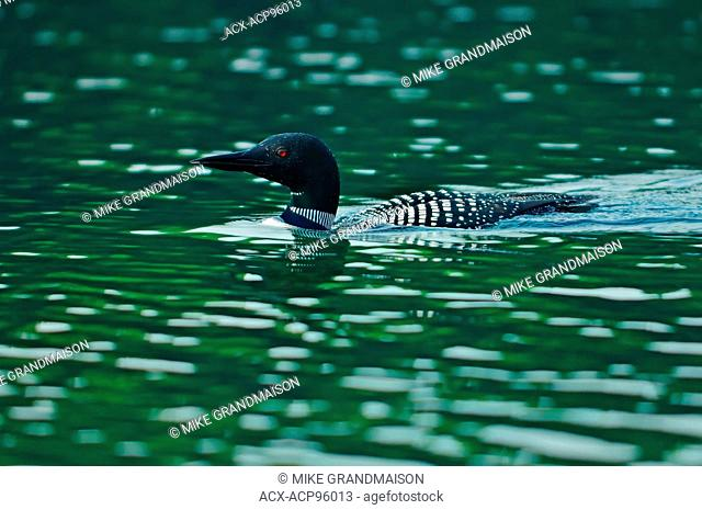 Great northern or common loon Gavia immer on Killarney Lake Killarney Provincial Park Ontario Canada