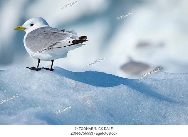 Kittiwake casting a shadow on ice floe