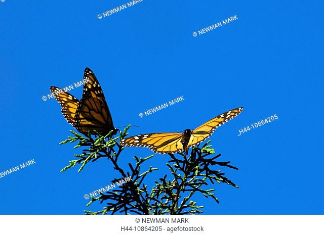 Monarch butterfly, Danaus plexippus, wintering area, pismo beach, USA, North America, California, 2009, butterflies, sky, plant