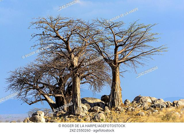 Baobab (also called dead-rat tree (from the appearance of the fruits), monkey-bread tree (the soft, dry fruit is edible)