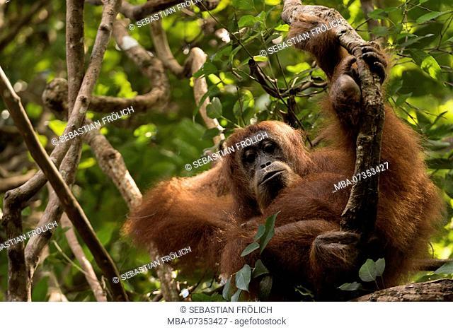 Cozy nap of a full-grown orangutan female in Gunung Leuser National Park