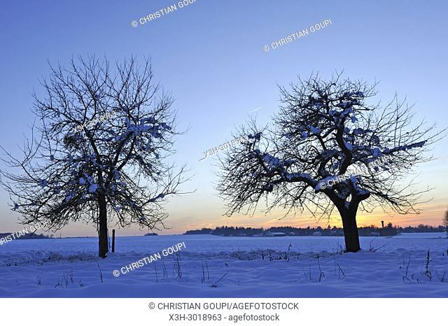 covered with snow apple trees at dusk, department of Eure-et-Loir, Centre-Val-de-Loire region, France, Europe