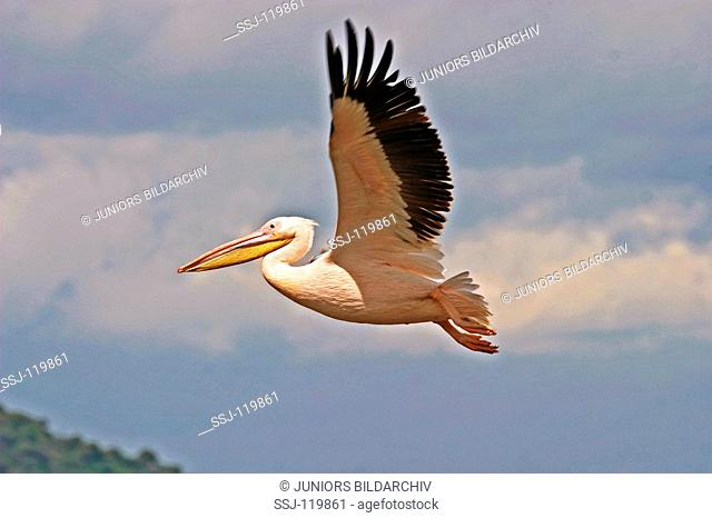 white pelican - flying / Pelecanus onocrotalus