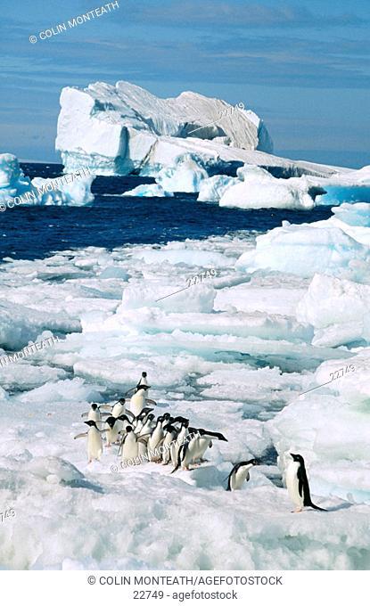 Adelie Penguins (Pygoscelis adeliae). Paulet Island. Antarctica