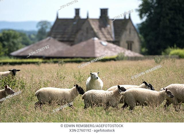 UK, England, Yorkshire - Sheep in a pasture on the grounds of the historic Kiplin Hall in Yorkshire, England
