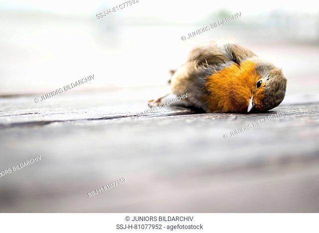European Robin (Erithacus rubecula). Dead adult lying on a terrace. Germany