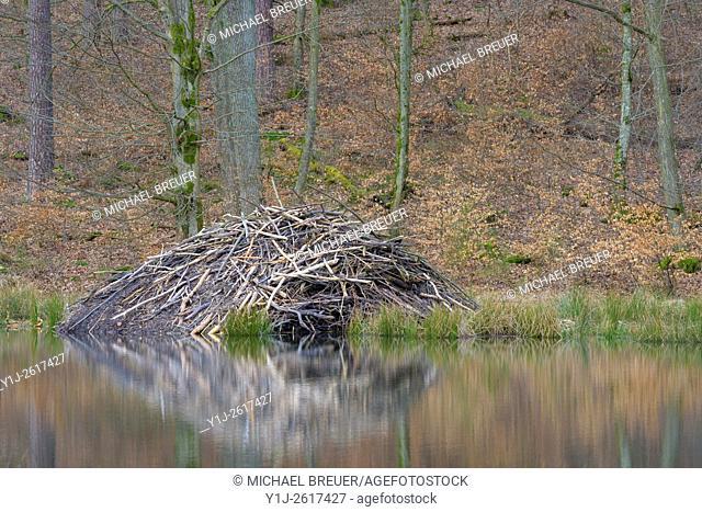 Beaver lodge, Spessart, Hesse, Germany, Europe