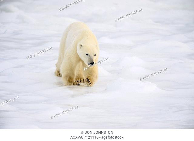 Polar Bear (Ursus maritimus) Wandering Hudson Bay coast waiting for sea ice