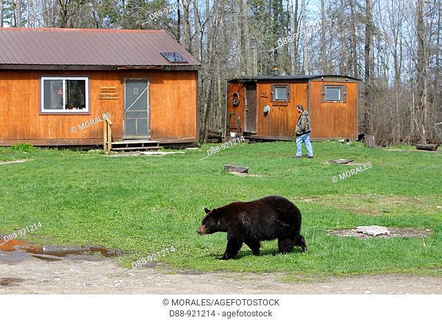 Black Bear (Ursus americanus). Vince Shute Wildlife Sanctuary, Minnesota, USA