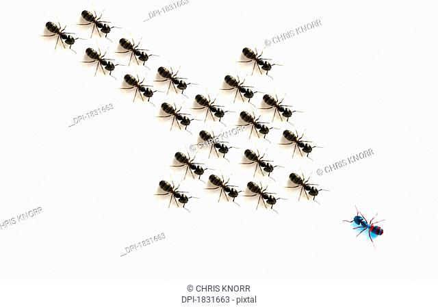 Ants, forming an arrow