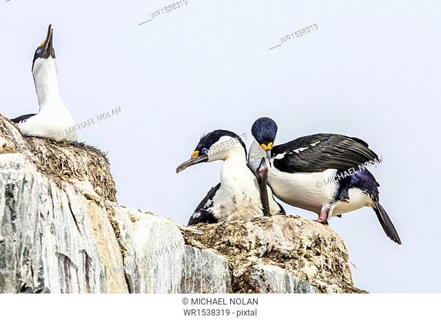 Antarctic shags (Phalacrocorax [atriceps] bransfieldensis), nesting chick on Petermann Island, Antarctica, Polar Regions