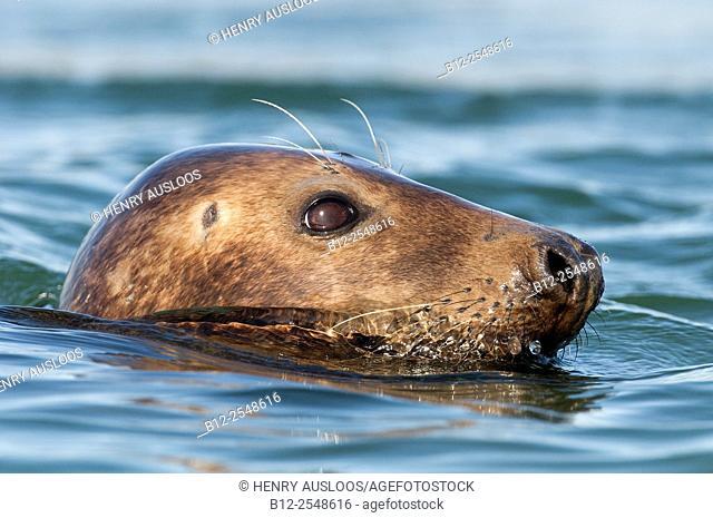 Grey seal (Halichoerus grypus), Netherlands