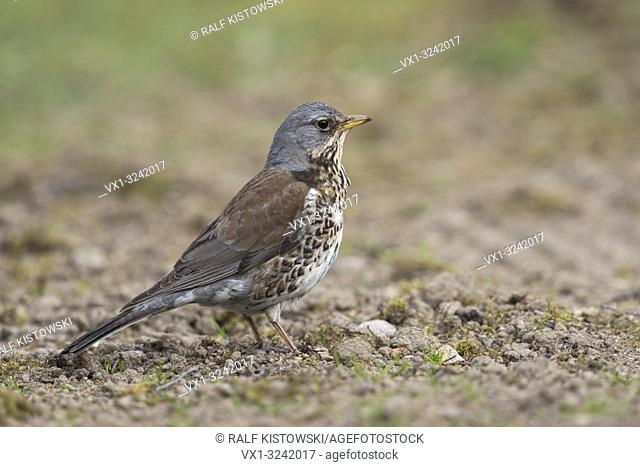 Fieldfare ( Turdus pilaris ) in its breeding dress, standing on the ground, watching attentive, detailed side view