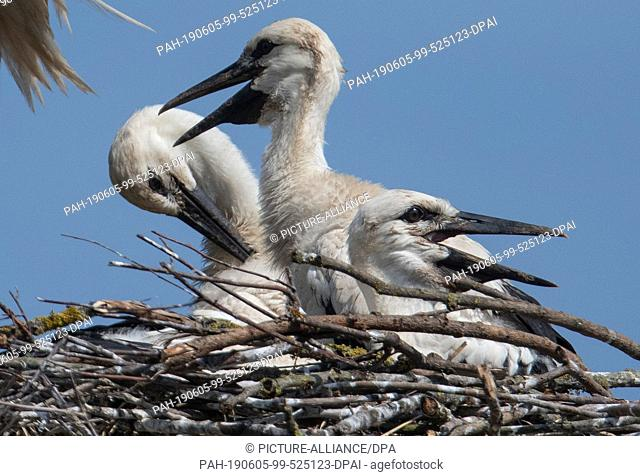 05 June 2019, Hessen, Biebesheim: Three young storks sit in their nest near the Rhine. One of the largest stork colonies in the country breeds in Ried in Hesse