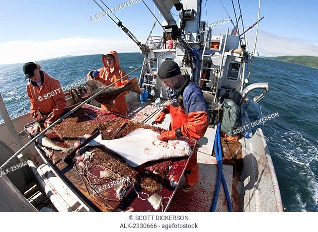 Gutting halibut while commercial longline fishing near Cold Bay, Southwest Alaska, summer