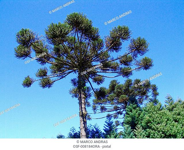 natural pine tree vegetation plant high