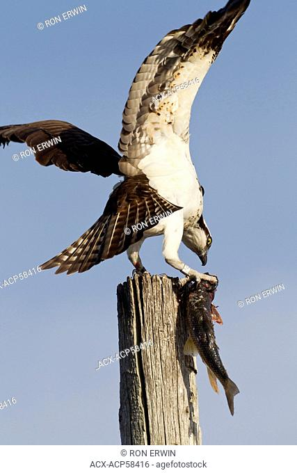 Osprey Pandion haliaetus perched on a post eating a fish in the Township of Burpee and Mills on Manitoulin Island, Ontario, Canada