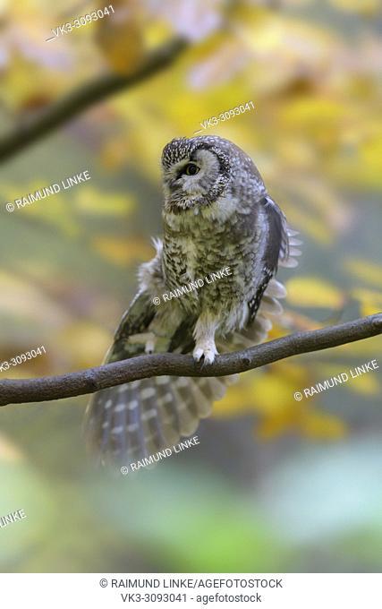 Tengmalm's Owl, Aegolius funereus, autumn, Germany