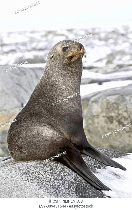 young fur seal resting on a rocky island