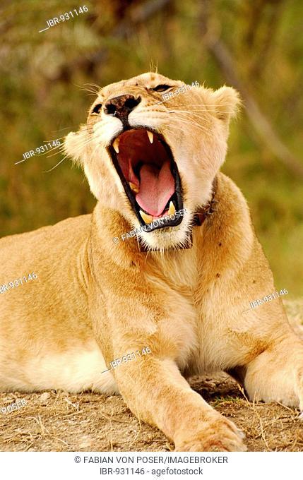Lioness (Panthera leo), yawning, Serengeti National Park, Tanzania, Africa
