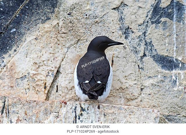 Thick-billed murre / Brünnich's guillemot (Uria lomvia) on rock ledge in sea cliff in seabird colony, Alkefjellet, Hinlopenstreet, Svalbard, Norway