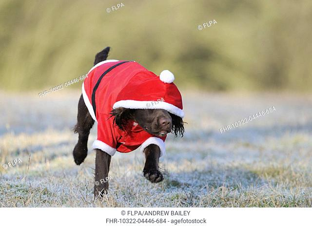 Domestic Dog, English Cocker Spaniel, working type, immature male, eight-months old, running in frosty field, wearing santa outfit with hood down over eyes