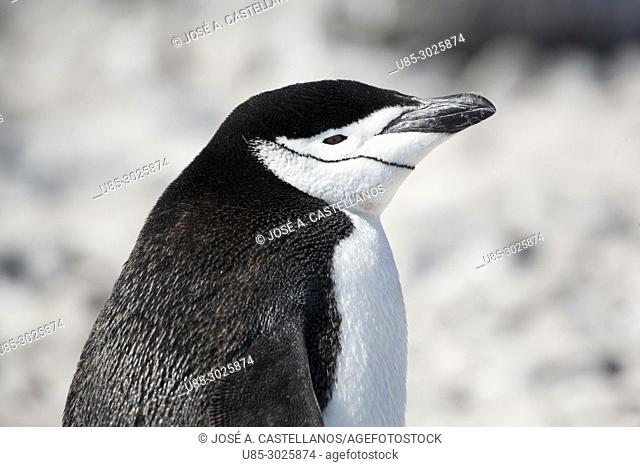 Chinstrap penguin (Pygoscelis antarcticus). Paulet Island near the Antarctic Peninsula, Antarctica