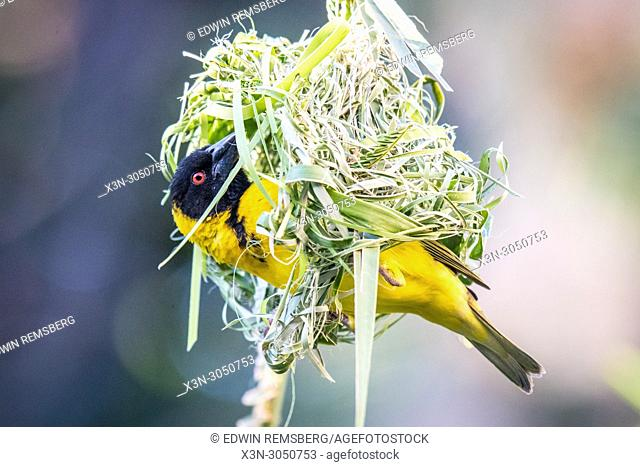 Male Village weaver (Ploceus cucullatus) perched inside entrance of its woven nest, Hwange, Zimbabwe