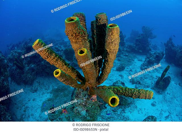 Sponges on seabed, Xcalak, Quintana Roo, Mexico, North America