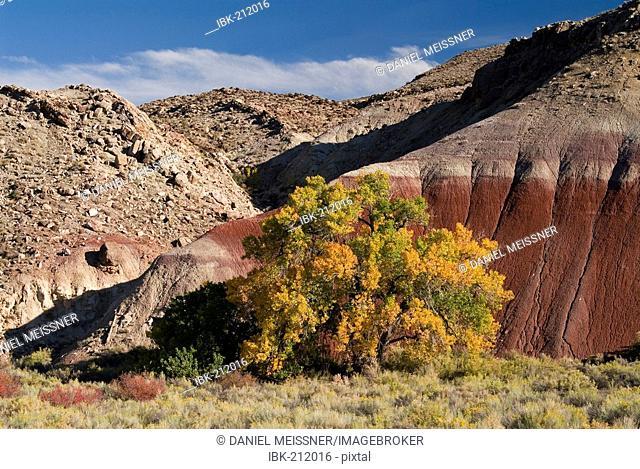 Fremont Cottonwood (populus fremontii) Blue Flats badlands, Utah, USA