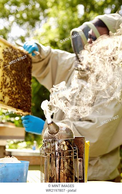 A beekeeper in a beekeeping suit with a smoker, opening and checking his hives