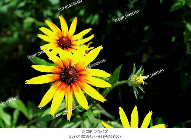 Bright yellow Rudbeckia flowers
