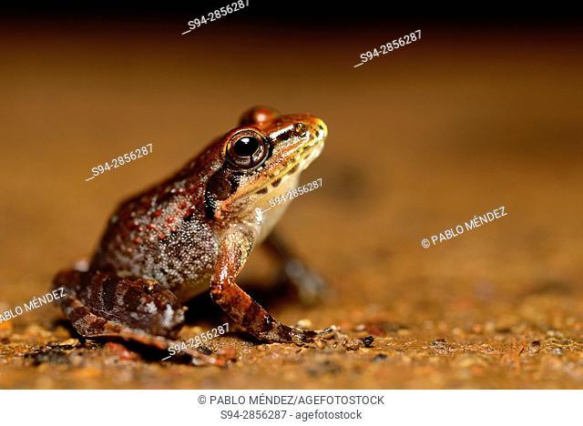 Leaping frog (Indirana beddomii) near Kuskem, Cotigao, Goa, India