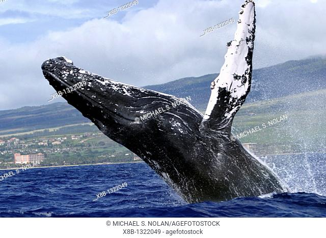 Adult Humpback Whale Megaptera novaeangliae breaching in the AuAu Channel, Maui, Hawaii, USA