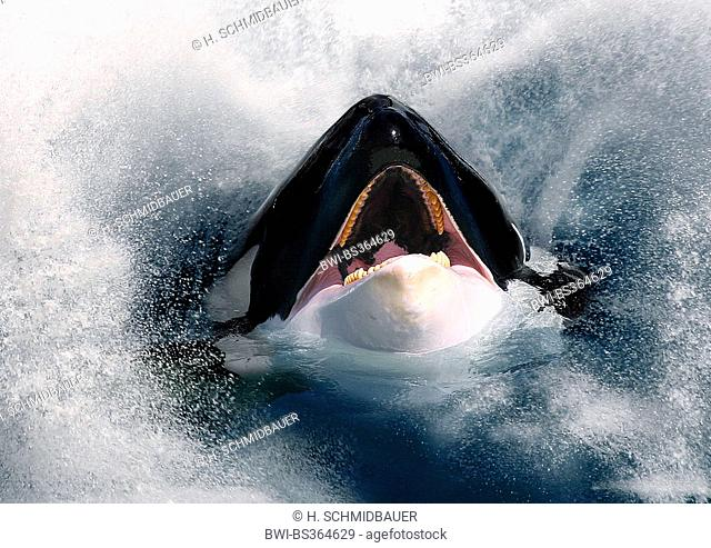 orca, great killer whale, grampus (Orcinus orca), hesd with open mouth looking out of the sea