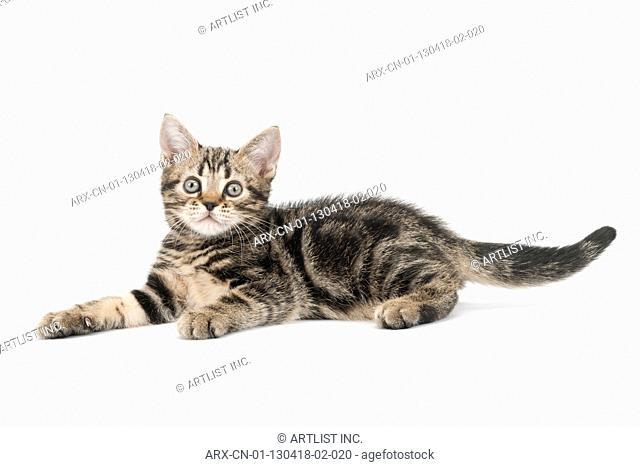 A kitten lying down