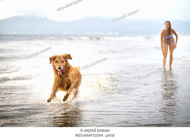 Mexico, Nayarit, Young woman in bikini playing with her Golden Retriever dog at the beach