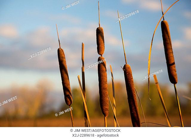 Monroe, Michigan - Cattails (Typha) in a marsh at Sterling State Park