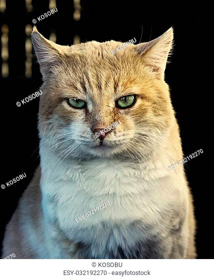 Beautiful ginger cat looking at camera outdoor, close up portrait