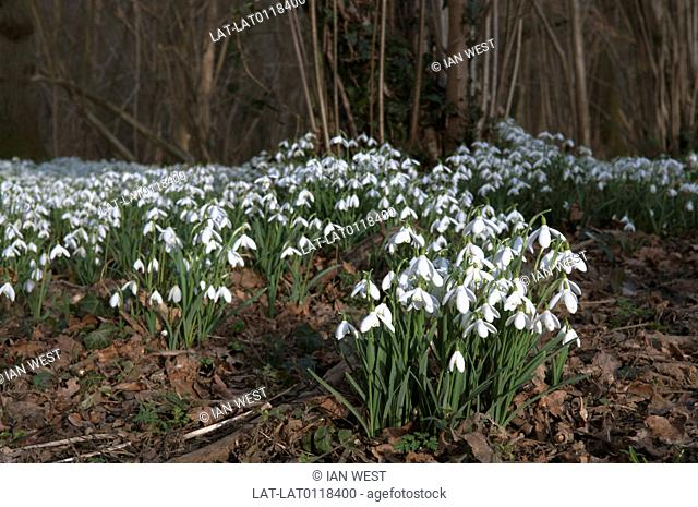 Snowdrops,Galanthus nivalis,usually flower in late winter or early spring. They often colonise and spread over the woodland floor