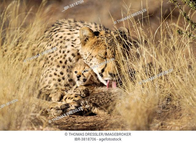 Cheetah (Acinonyx jubatus), female grooming her cub, male, 39 days, captive, Namibia