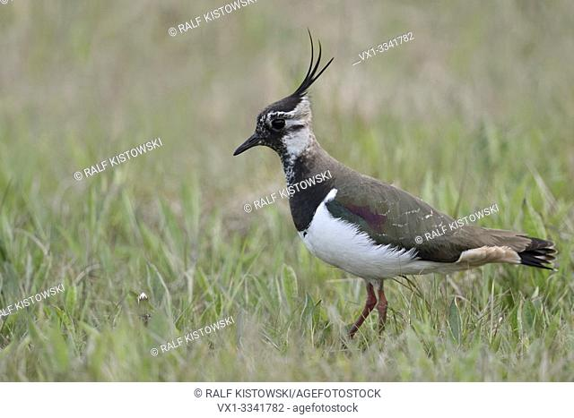 Northern Lapwing / Kiebitz ( Vanellus vanellus ), adult female, resting in an extensive meadow, typical surrounding, wildlife, Europe.