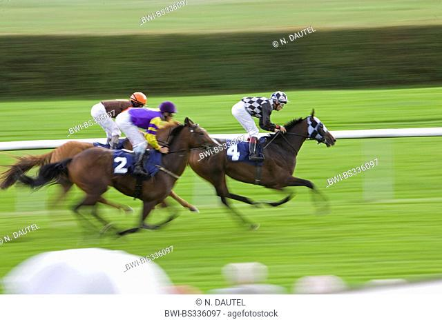 domestic horse (Equus przewalskii f. caballus), horse racing