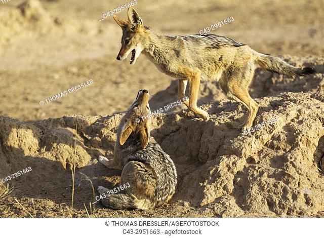 Black-backed Jackal (Canis mesomelas). Playful. Kalahari Desert, Kgalagadi Transfrontier Park, South Africa