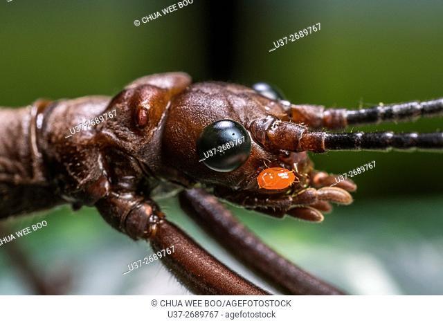 Stick Insect. Image taken at Kampung Skudup, Kuching, Sarawak, Malaysia