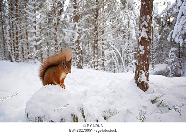 European red squirrel, Eurasian red squirrel Sciurus vulgaris, sitting on a stone in a snow-covered forest, United Kingdom, Scotland, Cairngorms National Park