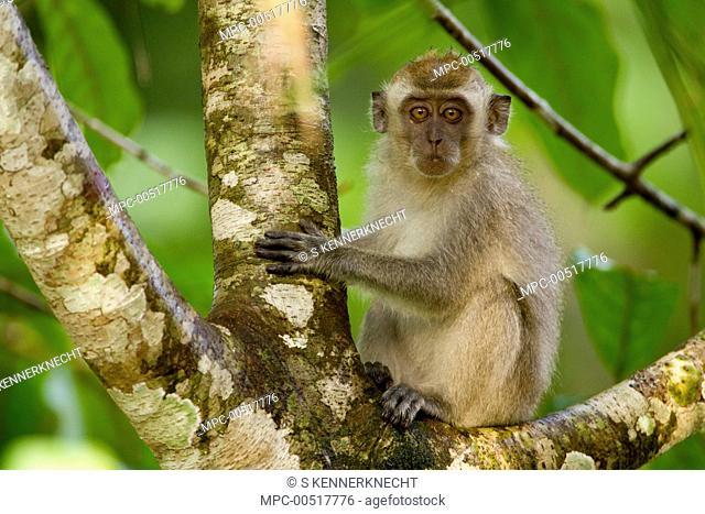 Long-tailed Macaque (Macaca fascicularis) young in tree, Tawau Hills Park, Sabah, Borneo, Malaysia