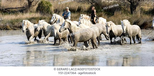 Gardians and Camargue Horses, Herd standing in Swamp, Saintes Marie de la Mer in the South of France