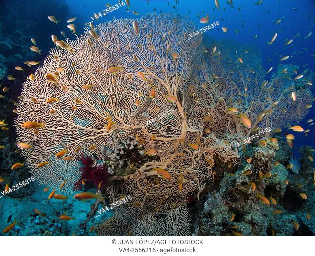 Gorgonian Gorgonia flabellum. Red Sea, Sharm el-Sheikh, Egypt
